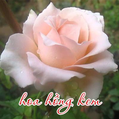 hoa-hong-kem