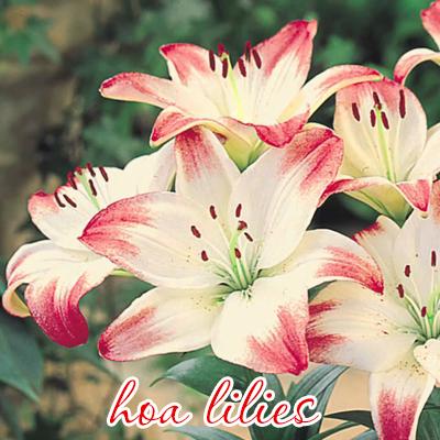 hoa-llilies