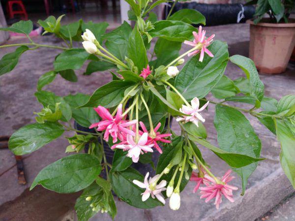 cách trồng hoa sử quân tử