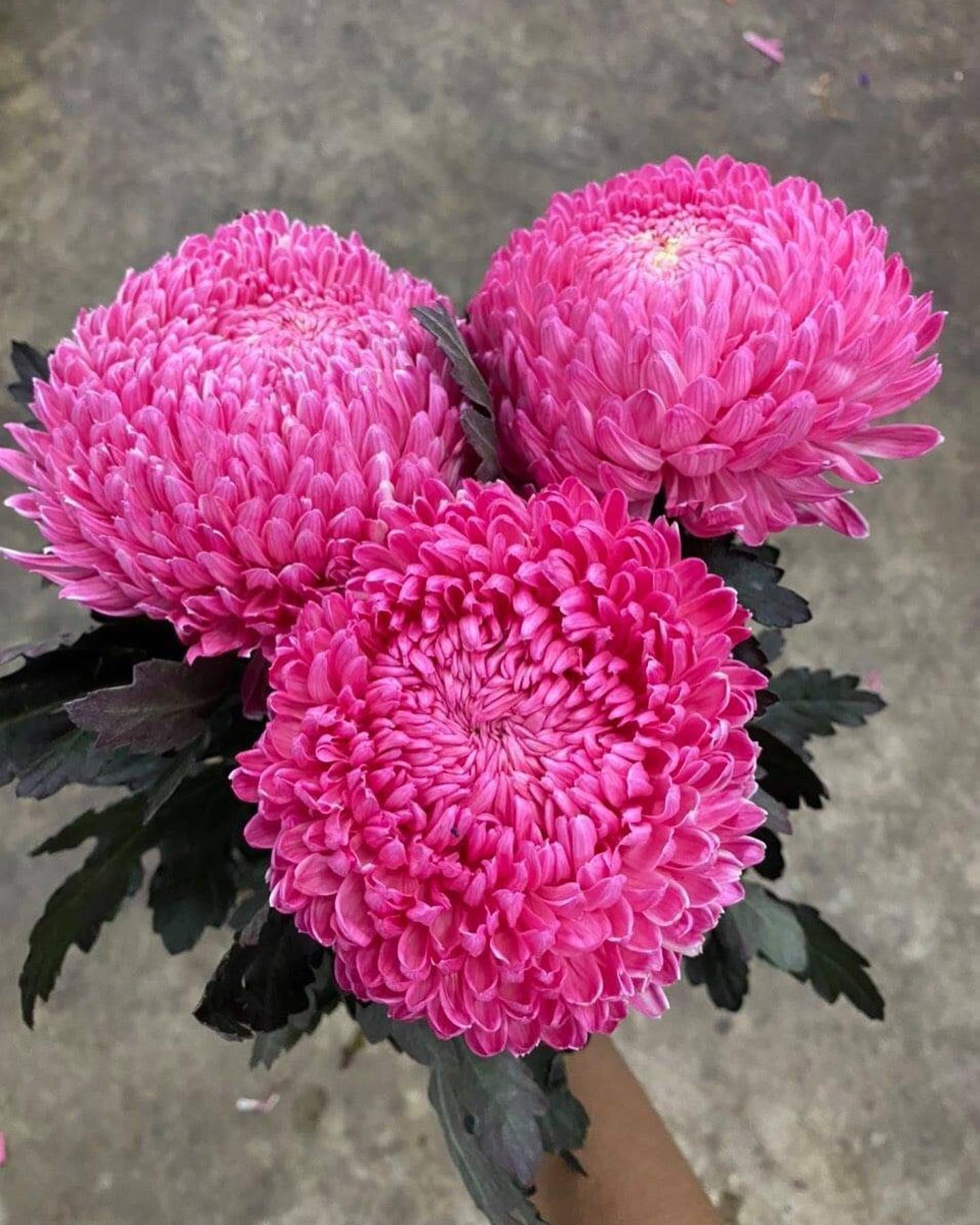 Hoa Cúc Mẫu Đơn Nhập Khẩu