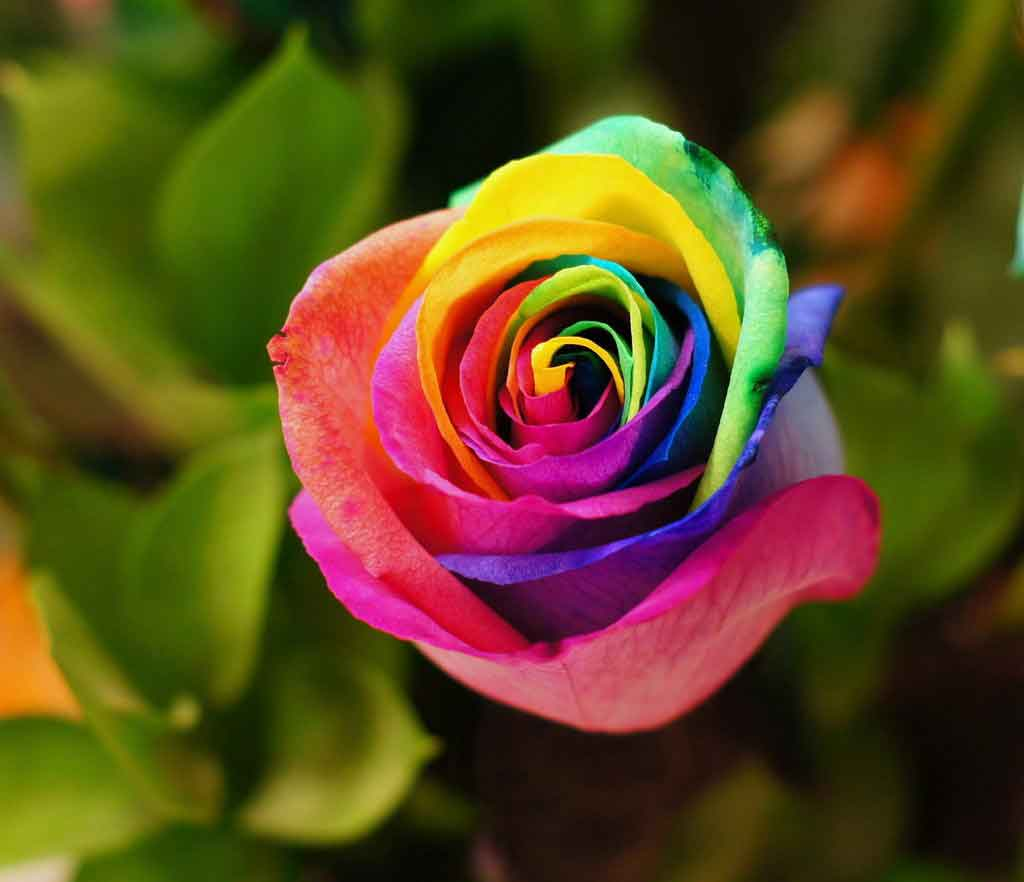 hoa hồng bảy màu