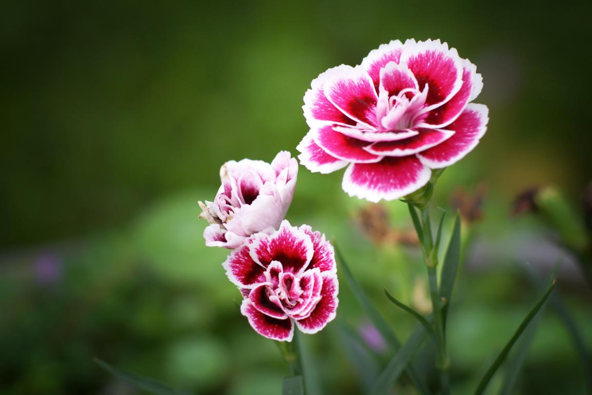 ý nghĩa của hoa cẩm chướng đẹp 2