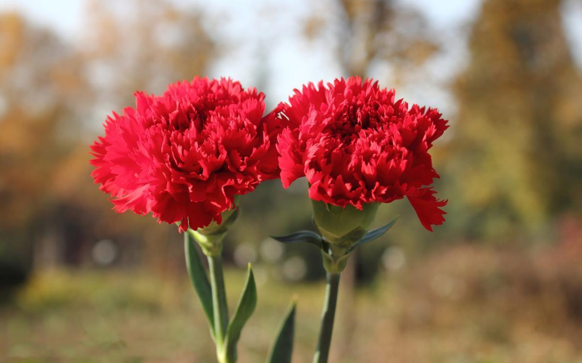 ý nghĩa của hoa cẩm chướng đẹp 3