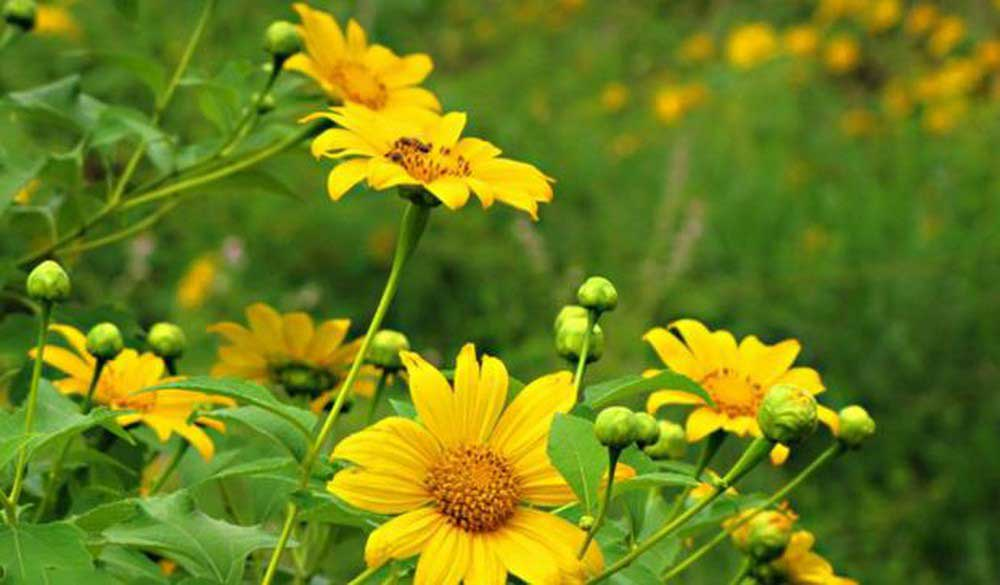 Cách trồng và chăm sóc hoa dã quỳ