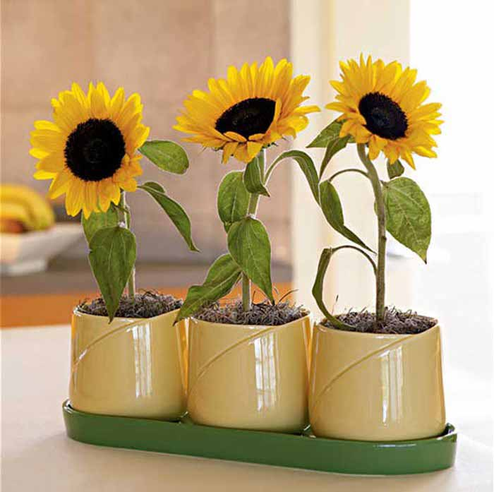 Cách trồng và chăm sóc hoa hướng dương