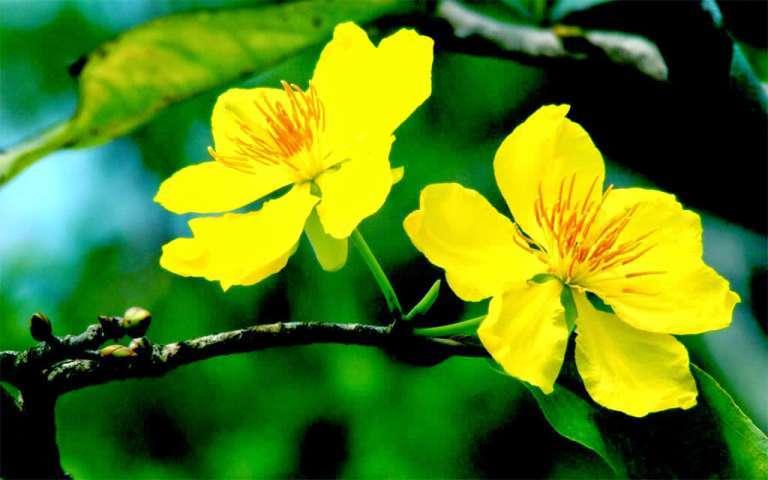đặc tính hoa mai