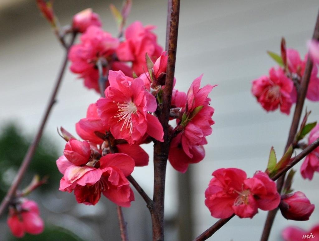 hoa đào tết đẹp nhất 3