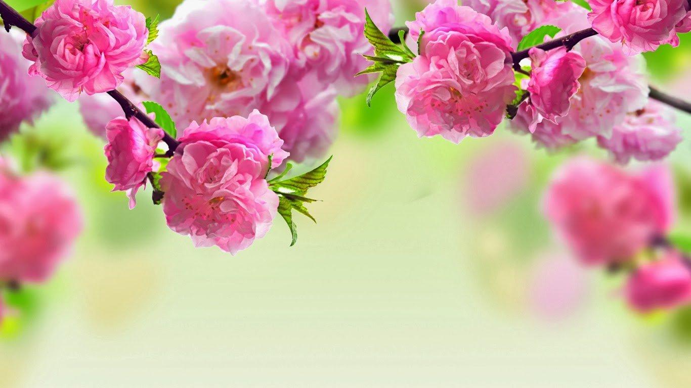 hoa đào tết đẹp nhất 4