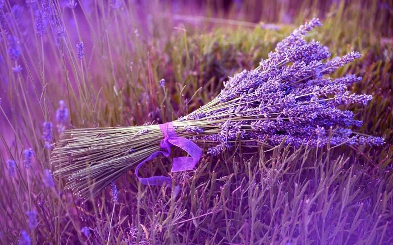hoa lavender đẹp nhất 5