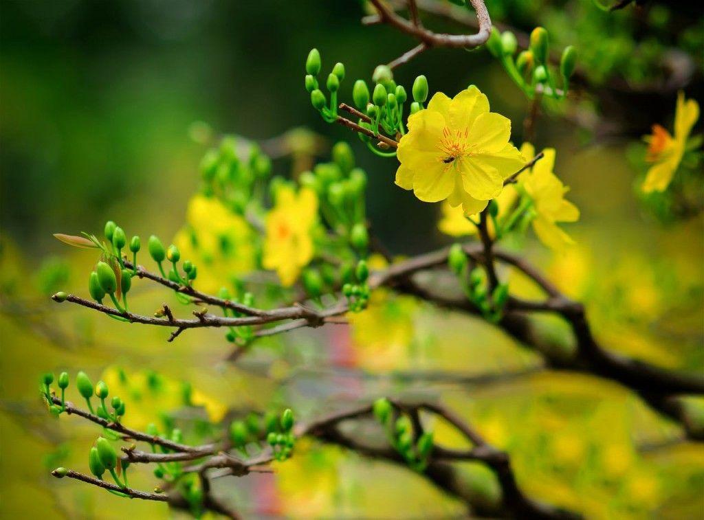 hoa mai đẹp 3