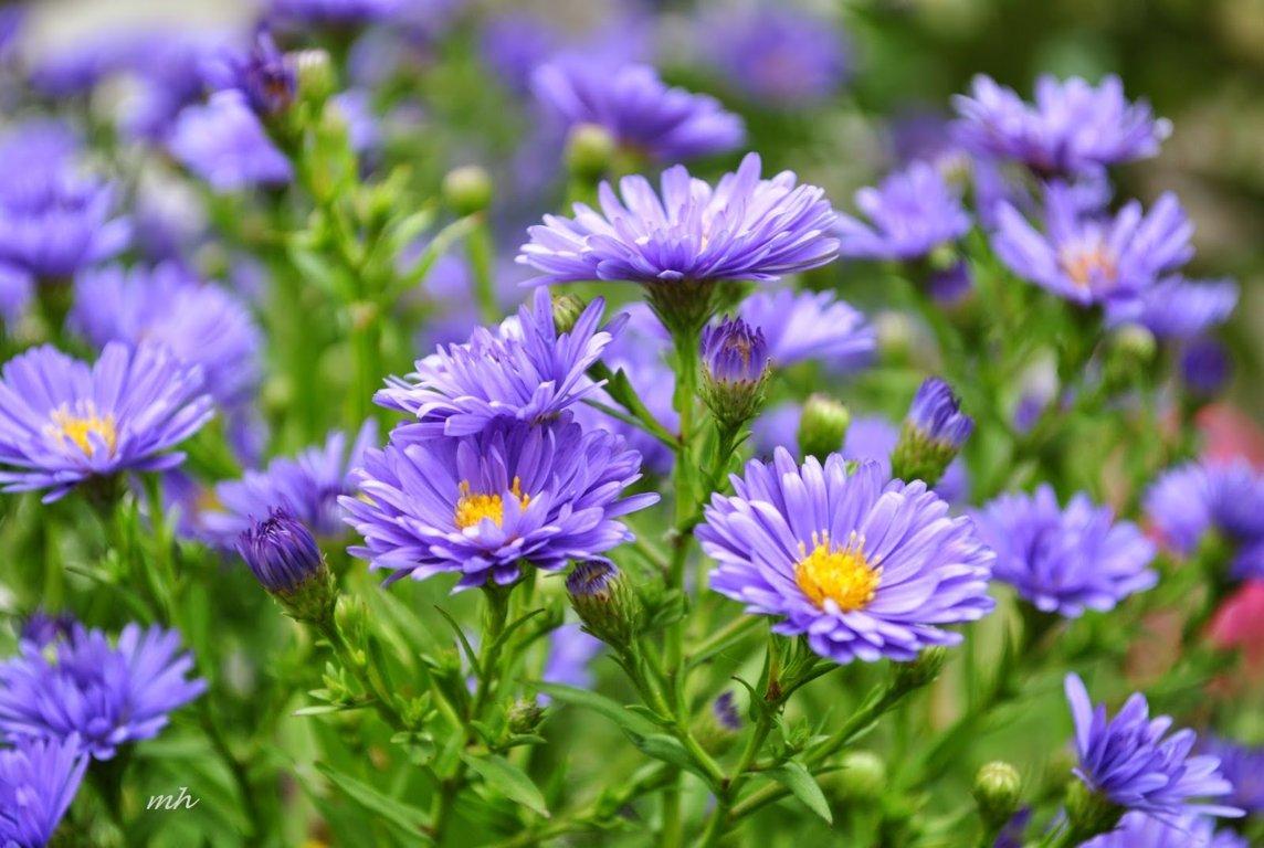hoa thạch thảo đẹp nhất 4