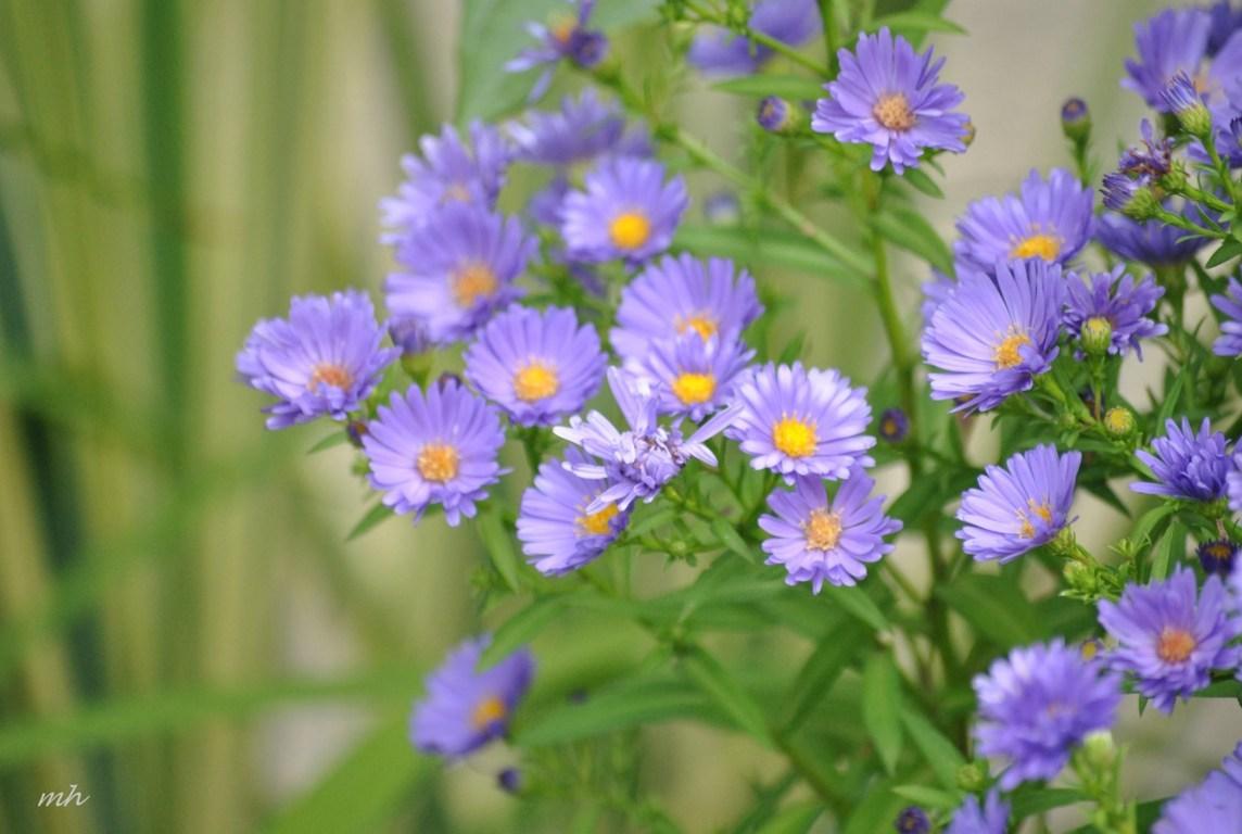 hoa thạch thảo đẹp nhất 6