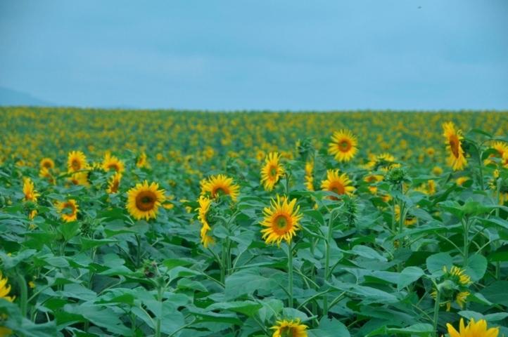 sự tích và ý nghĩa của loài hoa hướng dương 3