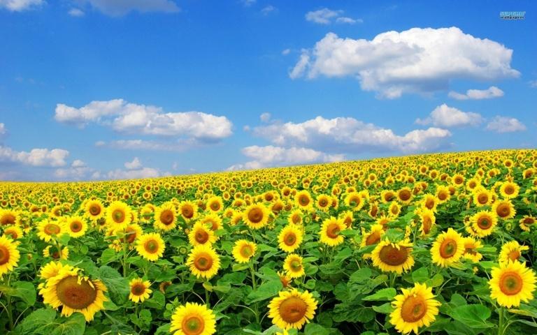sự tích và ý nghĩa của loài hoa hướng dương 7