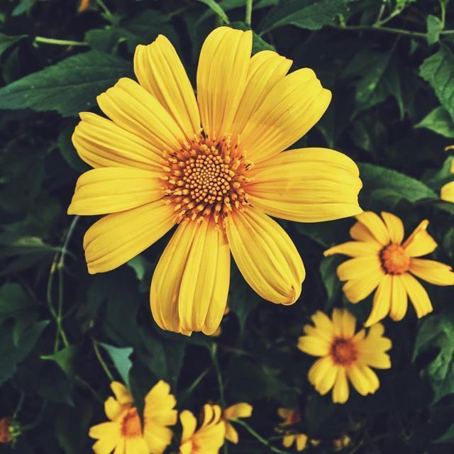 sự tích về loài hoa dã quỳ 1-2