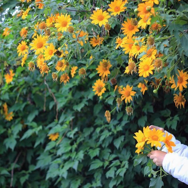 sự tích về loài hoa dã quỳ 1-13