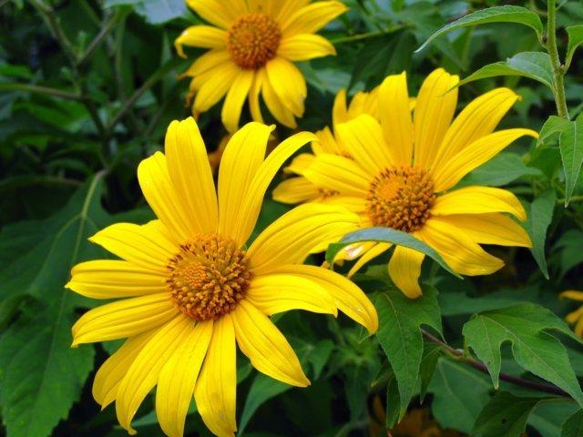 sự tích về loài hoa dã quỳ 1