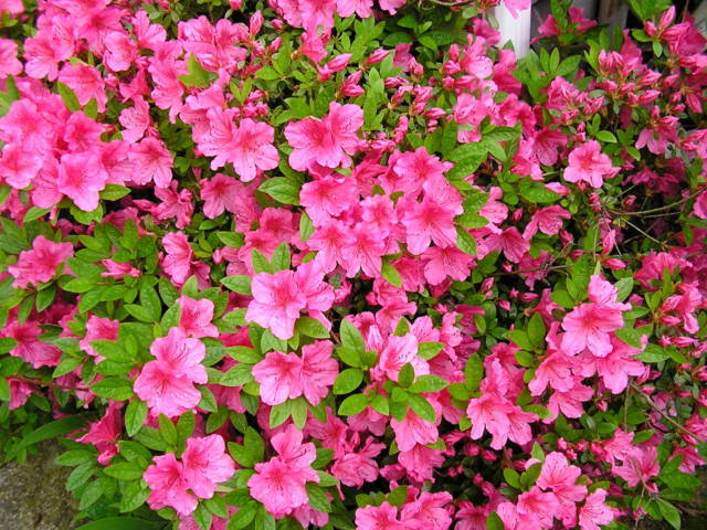 ý nghĩa hoa đỗ quyên 1