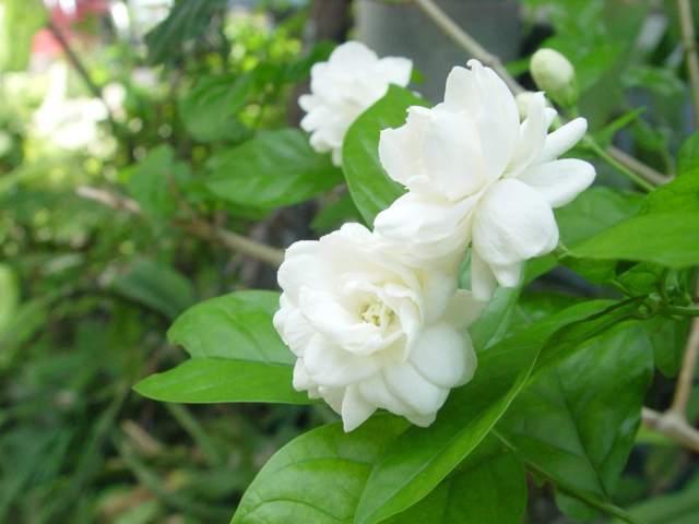 bông hoa lài đẹp 1