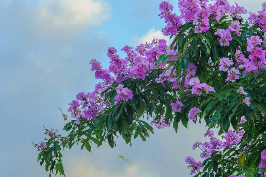 Chăm sóc hoa bằng lăng tím thật kỹ lưỡng để cây được phát triển tốt