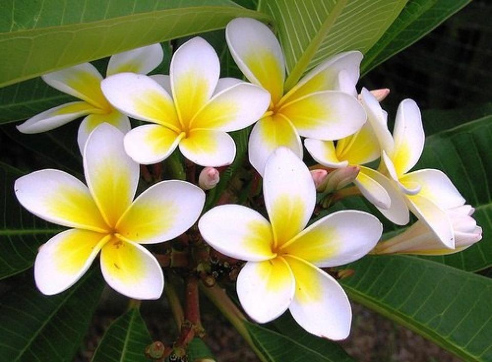 hình ảnh hoa sứ đẹp nhất 1