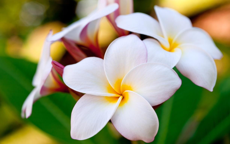 hình ảnh hoa sứ đẹp nhất 2