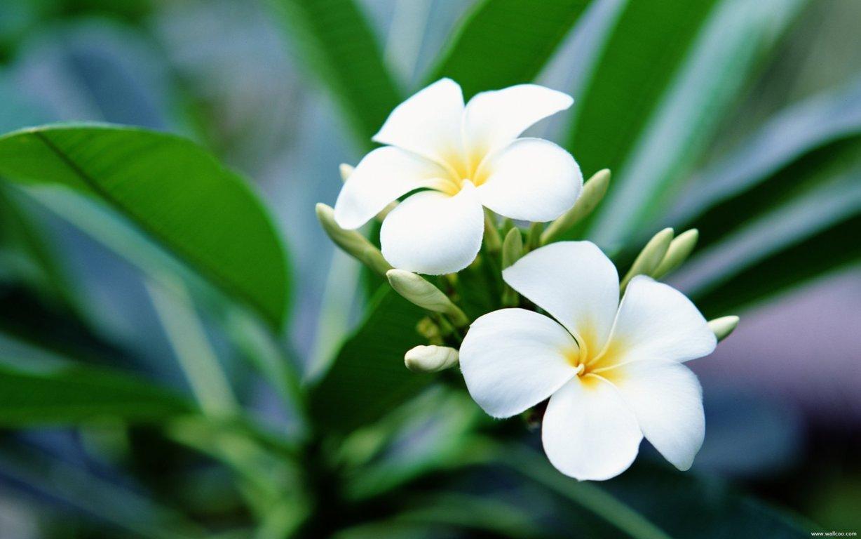 hình ảnh hoa sứ đẹp nhất 3
