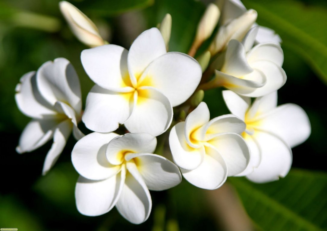 hình ảnh hoa sứ đẹp nhất 4