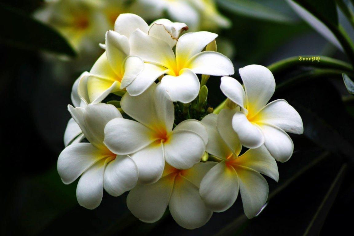 hình ảnh hoa sứ đẹp nhất 5