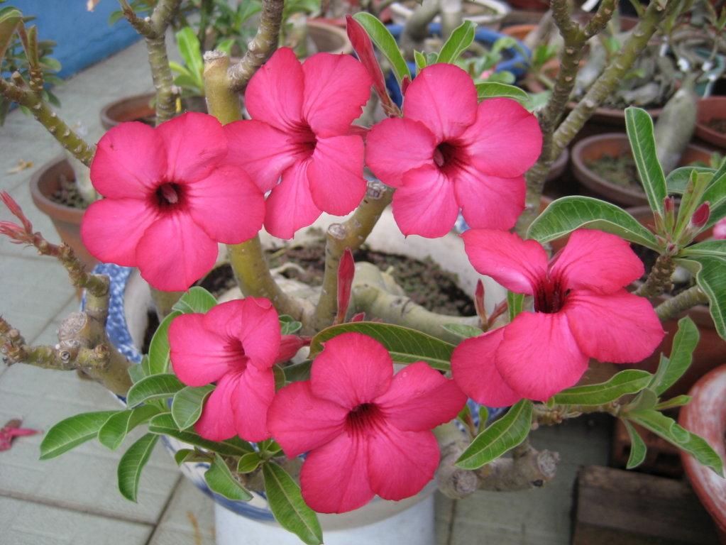 hình ảnh hoa sứ đẹp nhất 6