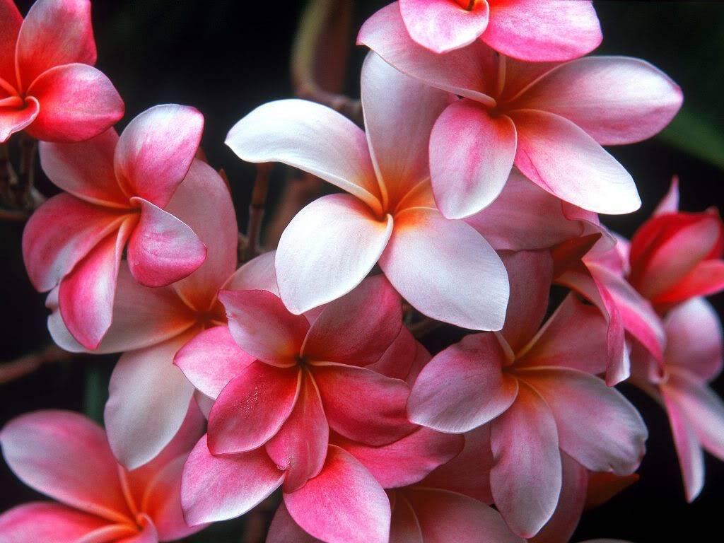 hình ảnh hoa sứ đẹp nhất 7