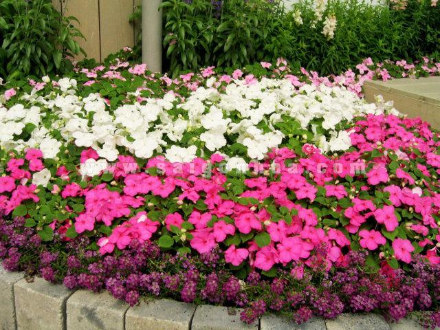 hoa mai địa thảo và cách trồng 1