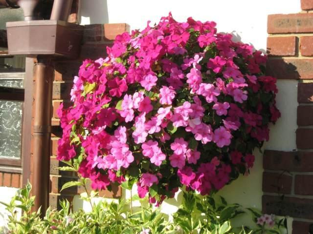 hoa mai địa thảo và cách trồng 2