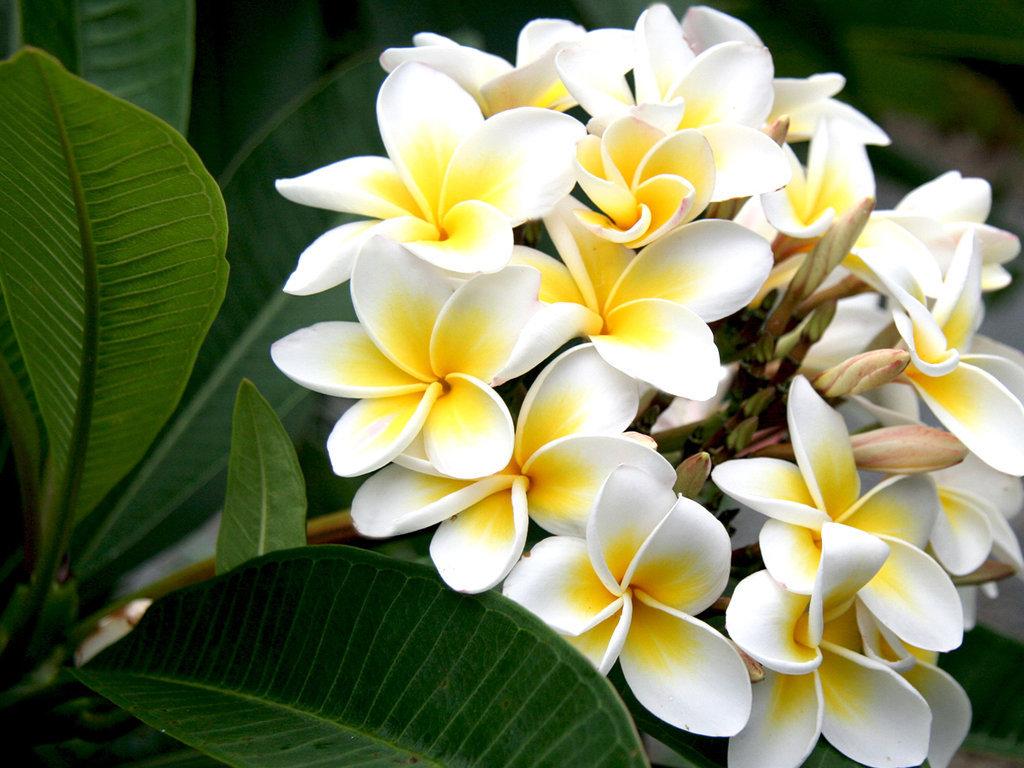 hoa sứ và ý nghĩa của nó 2