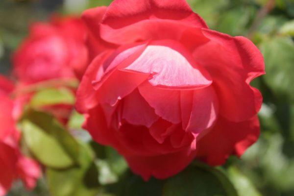 hoa tường vi đỏ đẹp nhất 2