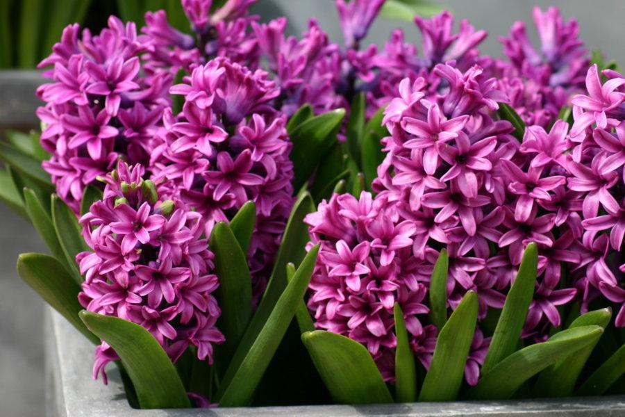 hoa dạ lan hương nhập khẩu