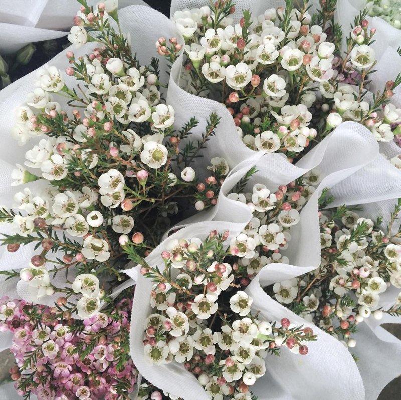 hoa thanh liễu trắng nhập khẩu