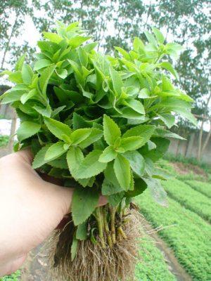 cây cỏ ngọt 3