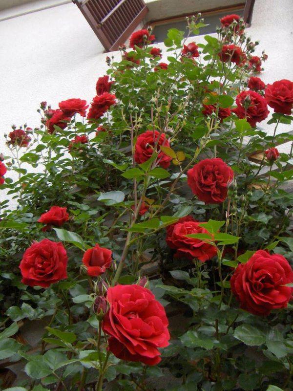 cây hồng cổ hải phòng 2019