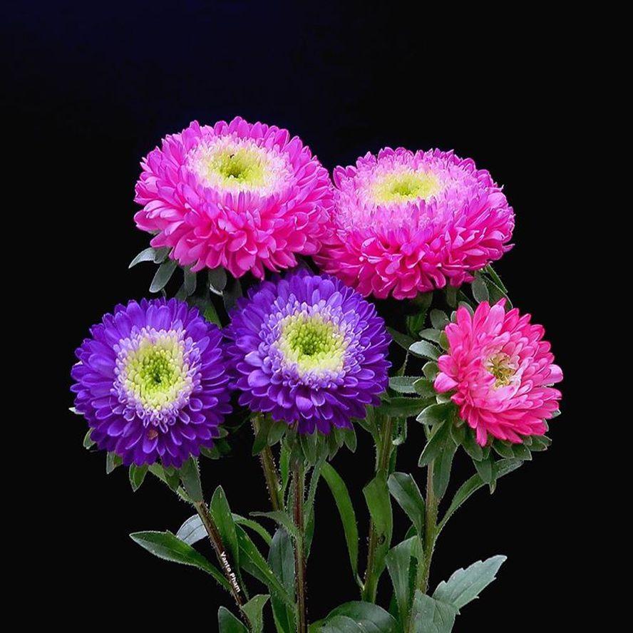 hoa cúc tại quận ba đình