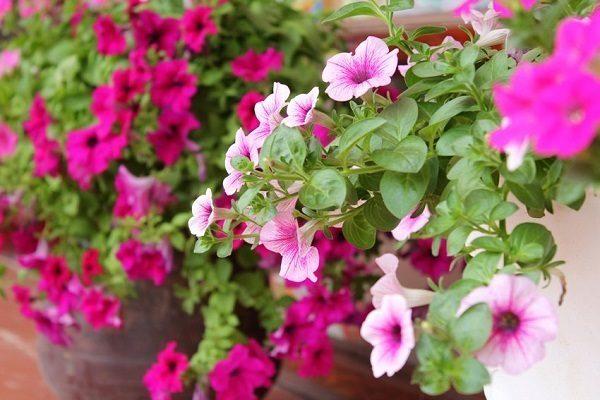 hoa dạ yến thảo đẹp 1