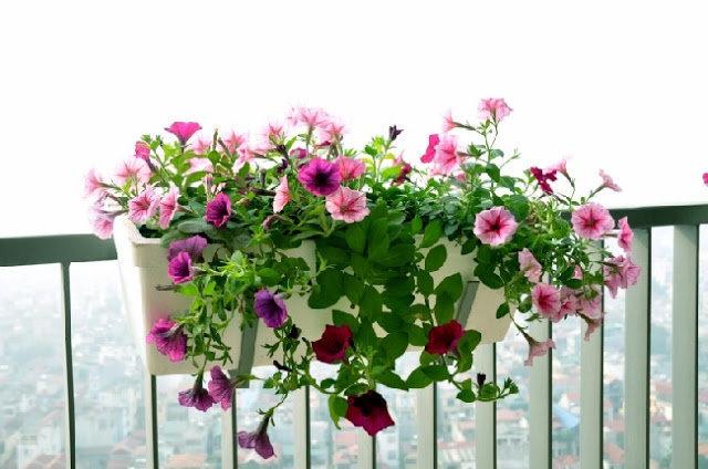 hoa dạ yến thảo đẹp 2