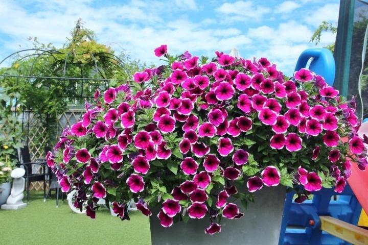 hoa dạ yến thảo đẹp 3