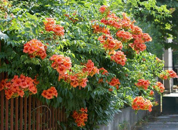 hoa đăng tiêu đẹp 1