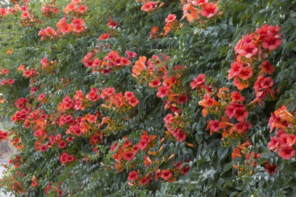 hoa đăng tiêu đẹp 3
