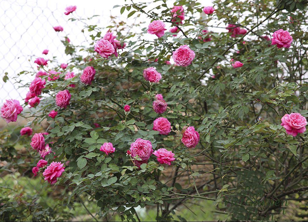 hoa hồng cổ sapa 2019 2