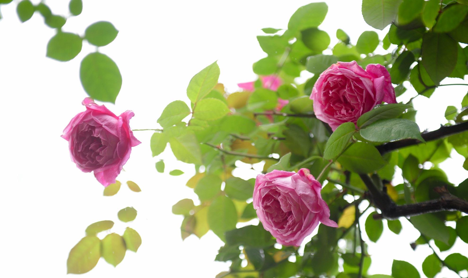 hoa hồng cổ sapa 2019