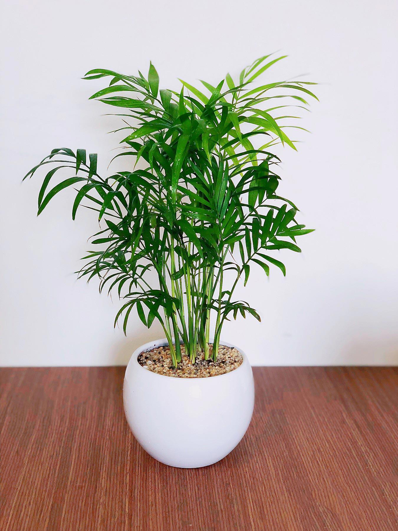 cây cau tiểu trâm 2019