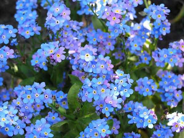 cách trồng hoa lưu ly