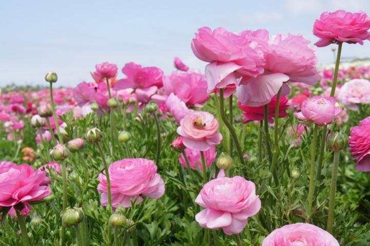 cánh đồng hoa mao lương 4